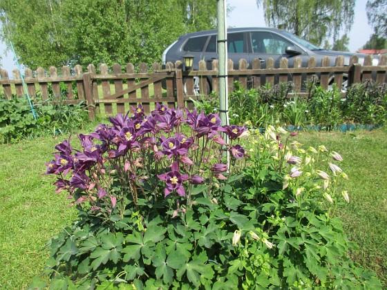 Akleja                                 2016-05-22 Akleja_0014 Granudden Färjestaden Öland
