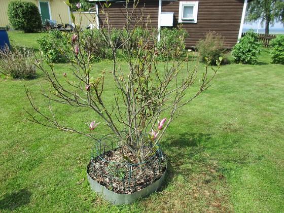 Magnolia {                                Min #magnolia har varit lite konstig i år. Först trodde vi den hade dött men så kommer lite små skrumpna blommor. }