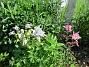 Mina #aklejor har börjat blomma (2016-05-22 Akleja_0048)