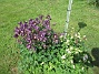 Akleja                                2-3 sorters #akleja blommar här nu. 2016-05-22 Akleja_0072
