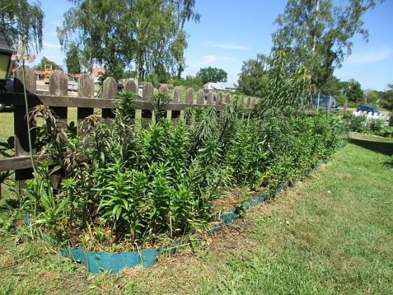 Granudden                                Liljorna växer och växer och i år verkar det dessutom bli riktigt många!&nbsp 2016-06-05 IMG_0017 Granudden Färjestaden Öland