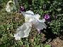 Trädgårdsiris                                Detta är första året som min #trädgårdsiris blommar! 2016-06-05 Trädgårdsiris_0043