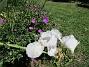 Trädgårdsiris                                 2016-06-11 Trädgårdsiris_0027