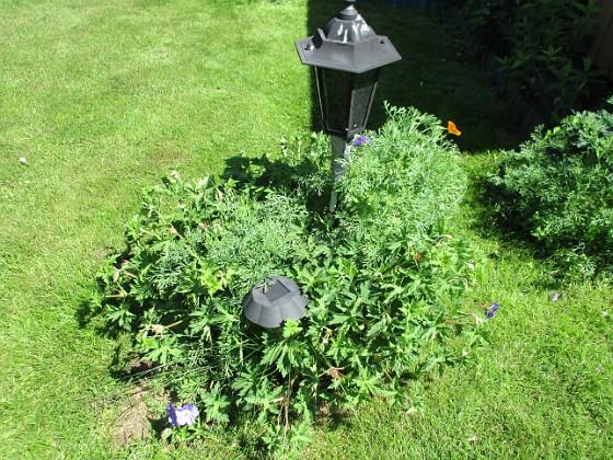 Trädgårdsnäva                                &nbsp 2016-06-22 Trädgårdsnäva_0044 Granudden Färjestaden Öland