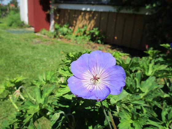 Trädgårdsnäva                                &nbsp 2016-06-22 Trädgårdsnäva_0059 Granudden Färjestaden Öland