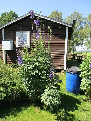 Trädgårdsriddarsporre                                &nbsp 2016-06-22 Trädgårdsriddarsporre_0025 Granudden Färjestaden Öland