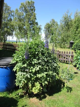Trädgårdsriddarsporre                                &nbsp 2016-06-22 Trädgårdsriddarsporre_0026 Granudden Färjestaden Öland