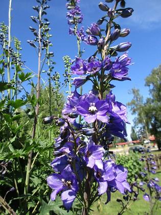 Trädgårdsriddarsporre                                &nbsp 2016-06-22 Trädgårdsriddarsporre_0028 Granudden Färjestaden Öland