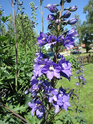 Trädgårdsriddarsporre                                &nbsp 2016-06-22 Trädgårdsriddarsporre_0029 Granudden Färjestaden Öland