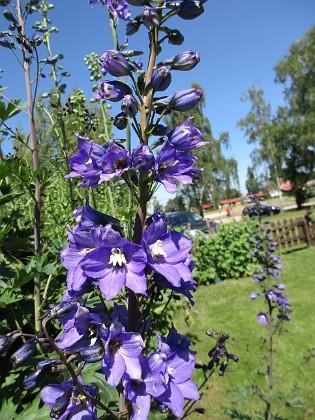 Trädgårdsriddarsporre                                &nbsp 2016-06-22 Trädgårdsriddarsporre_0030 Granudden Färjestaden Öland