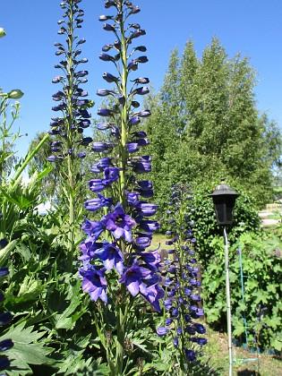 Trädgårdsriddarsporre                                &nbsp 2016-06-22 Trädgårdsriddarsporre_0035 Granudden Färjestaden Öland