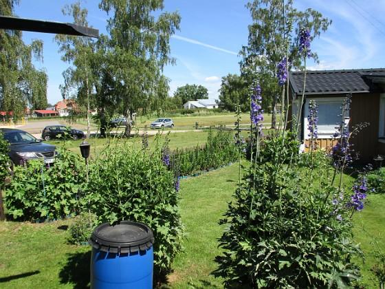 Trädgårdsriddarsporre                                &nbsp 2016-06-22 Trädgårdsriddarsporre_0041 Granudden Färjestaden Öland