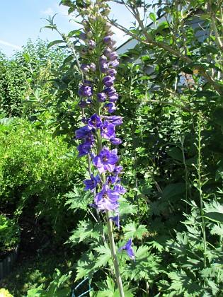 Trädgårdsriddarsporre                                &nbsp 2016-06-22 Trädgårdsriddarsporre_0065 Granudden Färjestaden Öland
