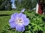 Trädgårdsnäva                                 2016-06-22 Trädgårdsnäva_0058
