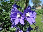 Trädgårdsriddarsporre                                 2016-06-22 Trädgårdsriddarsporre_0032