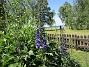 Trädgårdsriddarsporre                                 2016-06-22 Trädgårdsriddarsporre_0036