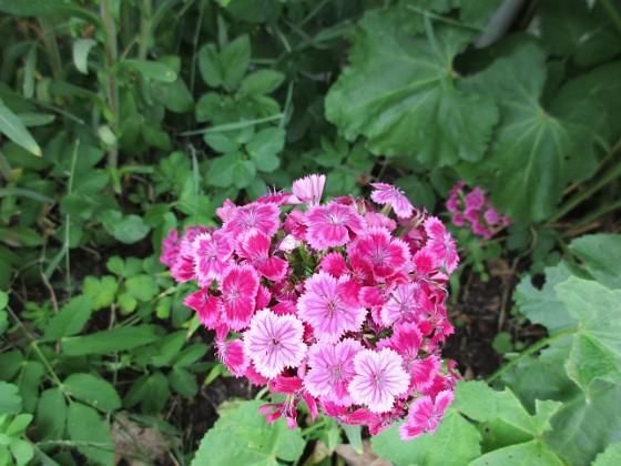 Borstnejlika {                                Borstnejlika är en tvåårig växt som brukar självså sig. }