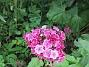 Borstnejlika                                Borstnejlika är en tvåårig växt som brukar självså sig. 2016-06-29 Borstnejlika_0050
