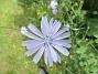 Cikoria                                Denna växt ser man ofta längs vägkanterna på Öland. 2016-06-29 Cikoria_0056