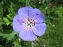Trädgårdsnäva                                Trädgårdsnäva i samma land ger gula och blå färger tillsammans. 2016-06-29 Trädgårdsnäva_0029