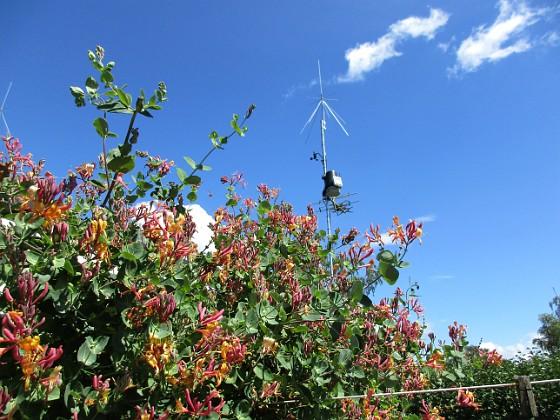 Kaprifol                                Visst blir det vackert med Kaprifol mot blå himmel?&nbsp 2016-07-10 Kaprifol_0001 Granudden Färjestaden Öland