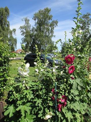 Stockros                                &nbsp 2016-07-10 Stockros_0015 Granudden Färjestaden Öland