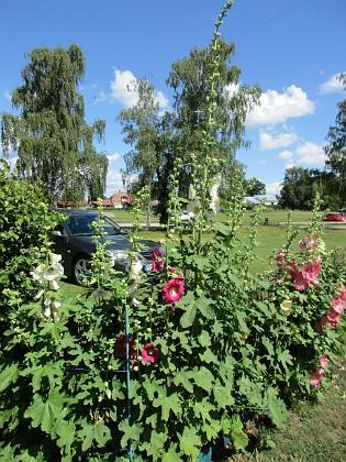 Stockros                                &nbsp 2016-07-10 Stockros_0029 Granudden Färjestaden Öland