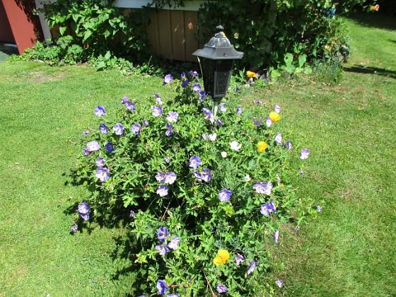 Trädgårdsnäva                                 2016-07-10 Trädgårdsnäva_0023 Granudden Färjestaden Öland