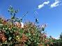 Kaprifol                                Visst blir det vackert med Kaprifol mot blå himmel? 2016-07-10 Kaprifol_0001