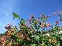 Kaprifol Min Kaprifol växer snart över taket!                                2016-07-10 Kaprifol_0002