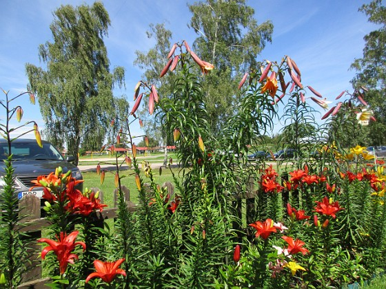 Liljor                                &nbsp 2016-07-18 Liljor_0003 (2) Granudden Färjestaden Öland