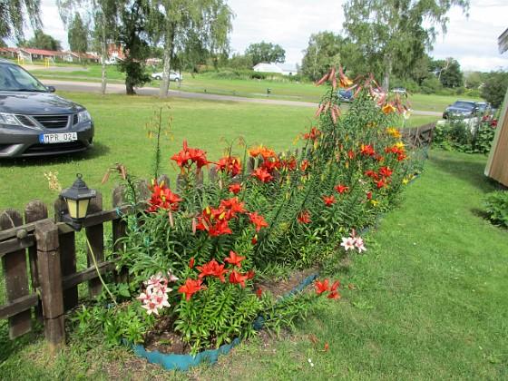 Liljor                                &nbsp 2016-07-18 Liljor_0060 Granudden Färjestaden Öland