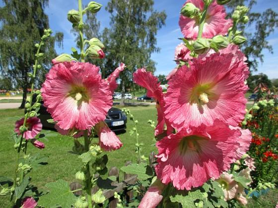 Stockros                                &nbsp 2016-07-18 Stockros_0023 (2) Granudden Färjestaden Öland