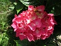 Hortensia                                 2016-07-18 Hortensia_0055