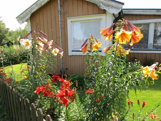 Liljor                                &nbsp 2016-07-22 Liljor_0001 Granudden Färjestaden Öland