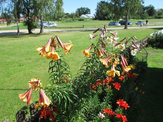 Liljor                                &nbsp 2016-07-22 Liljor_0016 Granudden Färjestaden Öland