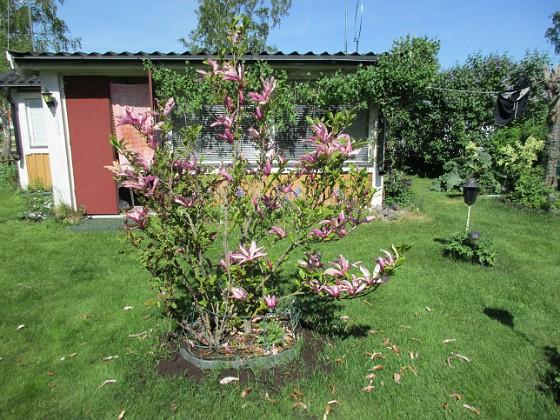 Magnolia                                &nbsp 2017-05-27 Magnolia 3 Granudden Färjestaden Öland