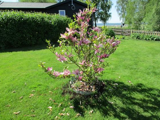 2017-05-27 Magnolia Granudden Färjestaden Öland