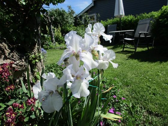 Trädgårdsiris                                &nbsp 2017-06-06 Trädgårdsiris_2 Granudden Färjestaden Öland