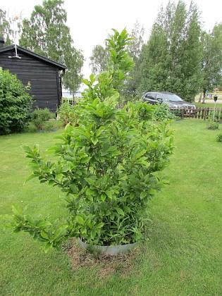 2017-06-22 Magnolia Granudden Färjestaden Öland