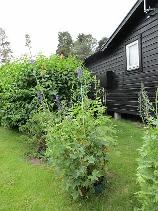Trädgårdsriddarsporre                                &nbsp 2017-06-22 Trädgårdsriddarsp orre 2 Granudden Färjestaden Öland