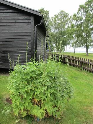 2017-06-22 Trädgårdsriddarsporre Granudden Färjestaden Öland