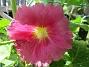 Årets första blomma! (2017-07-04 Stockros)