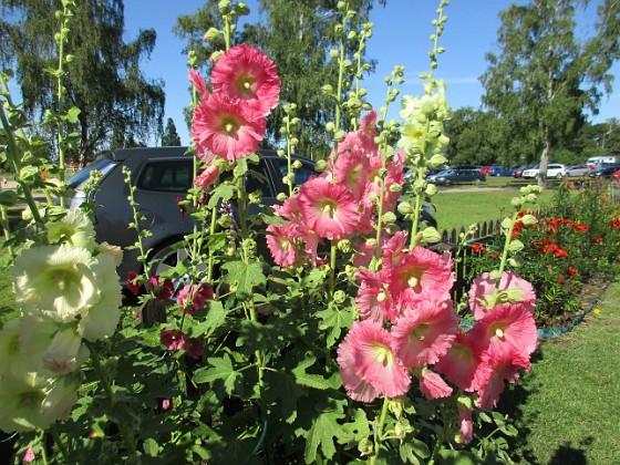 Stockros                                 2017-07-19 Stockros 12 Granudden Färjestaden Öland