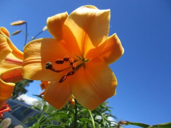 Basunlilja De verkar dessutom vara lite mera seglivade än andra liljor. De växer och växer och det kommer flera för varje år.&nbsp 2017-07-28 Basunlilja_0008 Granudden Färjestaden Öland