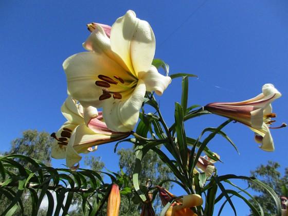Basunlilja Det är bra att kunna ha liljor i trädgården under hela juli månad. 2017-07-28 Basunlilja_0012 Granudden Färjestaden Öland