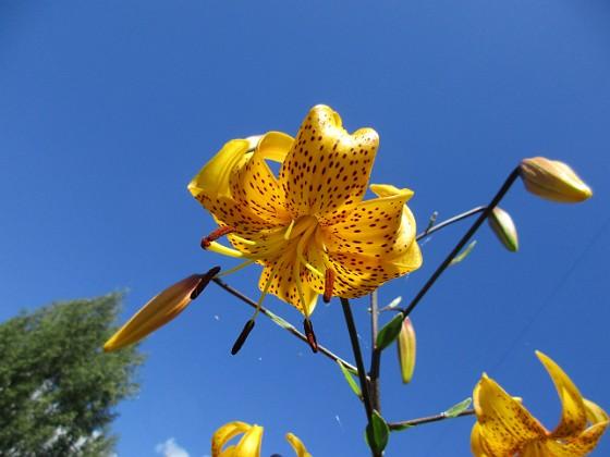 Tigerlilja { Tigerlilja Citronella heter denna sorten. Jag hade tidigare också en röd variant men den har dessvärre dött ut :-( }