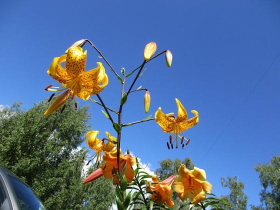 Tigerlilja { Även här är ju blomman riktad nedåt, vilket gör att man måste lägga sig på rygg. }