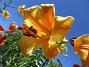 Basunlilja Basunliljorna brukar komma några veckor efter de andra liljorna. 2017-07-28 Basunlilja_0010