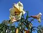 Det är bra att kunna ha liljor i trädgården under hela juli månad. (2017-07-28 Basunlilja_0012)